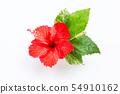 Beautiful red hibiscus flower in full bloom  54910162