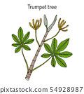 Trumpet tree or snakewood cecropia peltata , medicinal plant 54928987