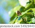 Butterflies on Ishigaki Island _ on the leaves 54929443