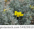 Lotus corniculatus, yellow flowers. 54929910
