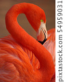 Vertical portrait of a greater flamingo 54959031