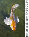 Koi carp swimming in a pond 54959034