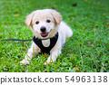 puppy dog golden retriever on the park, Golden 54963138