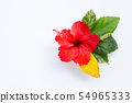 Beautiful red hibiscus flower in full bloom  54965333