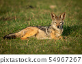 Black-backed jackal lies in grass watching camera 54967267