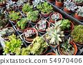 fresh cactus in the flower pot 54970406