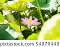 pink lotus flower 54970449