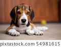 dog ripping dessert apart Beagle dog purebred 54981615