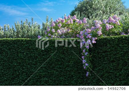 藤玫瑰和樹籬 54982706