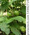 A mini tomato in the kitchen garden that finally bears fruit 54982714