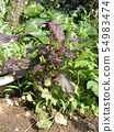 Akashiso that sprouts and grows every year from spilled seeds 54983474
