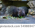 Indian crested Porcupine, Hystrix indica in a german zoo 54986947