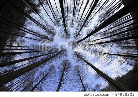 메타쉐콰이어 숲속 54988203