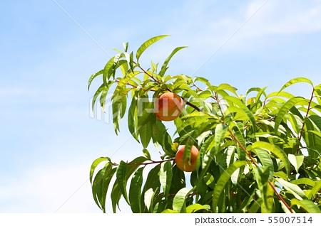 복숭아나무 55007514