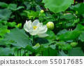 Gyoda ancient lotus flower 55017685