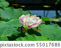 Gyoda ancient lotus flower 55017686