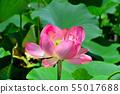 Gyoda ancient lotus flower 55017688