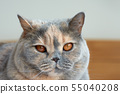 Close-up view of the head of a British Shorthair 55040208