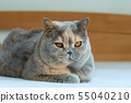 Close-up view of a blue-cream British cat. Lying 55040210