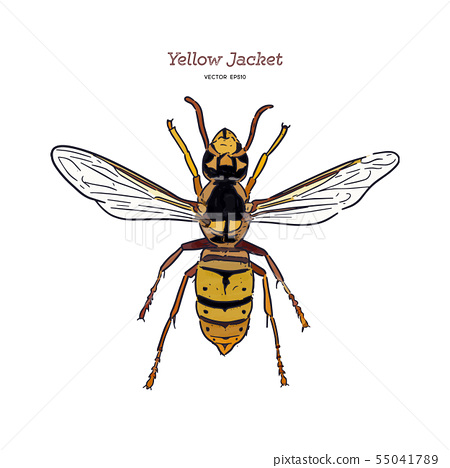 Yellowjacket is about a type of wasp. hand draw 55041789