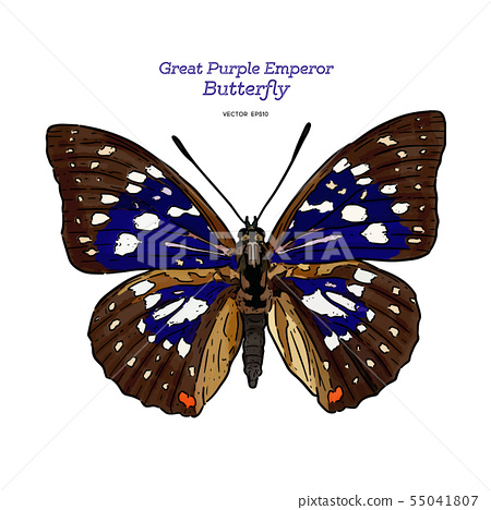 Great purple emperor (Sasakia charonda), hand draw 55041807