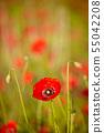 Spring Field of  Poppy Flowers 55042208