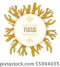 Fucus vesiculosus. Bladderwrack Seaweed, sea plant 55044035