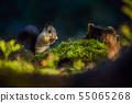 Eurasian red squirrel (Sciurus vulgaris) 55065268