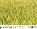 小麥麥田(五月) 55066028