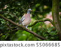 Common Wood Pigeon  (Columba palumbus) 55066685