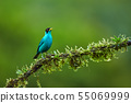 Green Honeycreeper, Chlorophanes spiza 55069999
