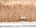 Beautiful picture of Swans - Cygnus cygnus 55070008