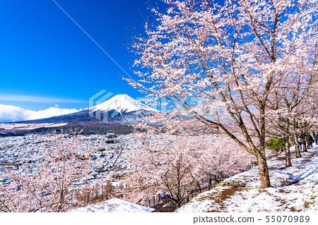 山山縣望む富士山的景色·櫻花和雪的新倉山淺間公園 55070989