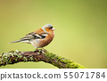 Common chaffinch perching on a mossy tree branch 55071784