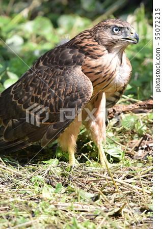 Yorotaka's young bird 55072215