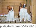 Portrait of a papillon purebreed dogs 55079823