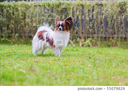Portrait of a papillon purebreed dog 55079829
