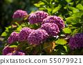 closeup of pink hortensias flowers in a garden 55079921