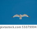 portrait of seagull flying on blue sky background 55079994