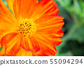 Close up Cosmos Flowers in the garden. 55094294