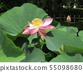 Ogajas桃红色花在千叶公园的 55098680