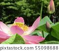 치바 공원 오오가하스의 분홍색의 꽃 55098688