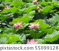 치바 공원 오오가하스의 분홍색의 꽃 55099128
