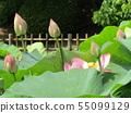 千葉公園的桃紅色五顏六色的芽 55099129