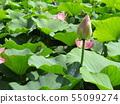 千葉公園的桃紅色五顏六色的芽 55099274