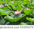 치바 공원 오오가하스의 분홍색의 꽃 55099275