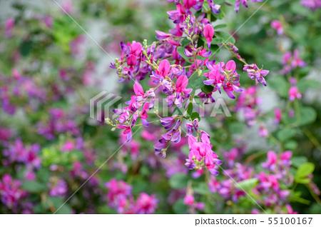 싸리 꽃 55100167