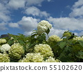 Hydrangea Annabelle White Hydrangea flower and blue sky and white clouds 55102620