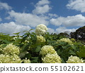 Hydrangea Annabelle White Hydrangea flower and blue sky and white clouds 55102621