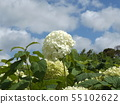 Hydrangea Annabelle White Hydrangea flower and blue sky and white clouds 55102622